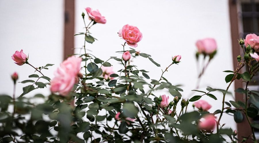 Pink Rose Garden Rose Essential Beaty Products Under $50